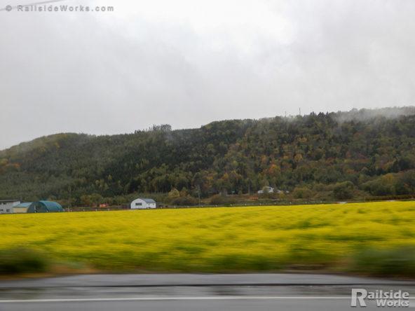 北見市内のキカラシ菜畑