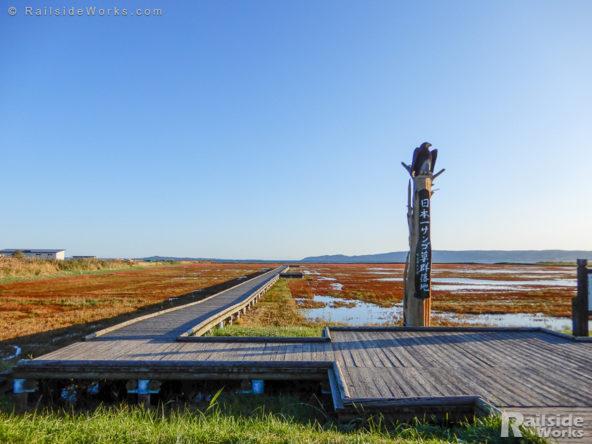 能取湖のサンゴ草群生地