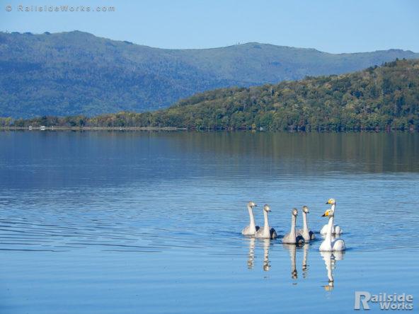 屈斜路湖に浮かぶ白鳥の親子