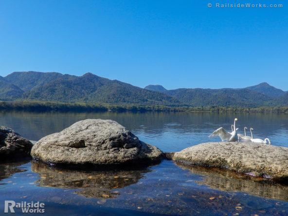 コタン温泉の前で休憩する白鳥の親子