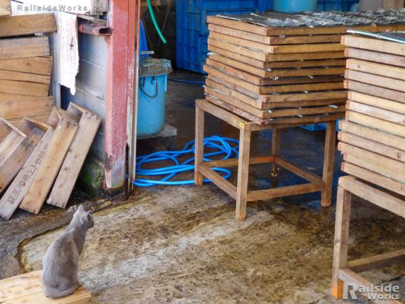 きびなご工場をじっと眺める猫